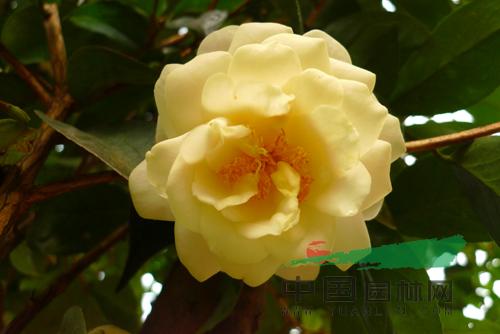 资讯生活棕榈股份五个越南抱茎茶新种通过初审 将生产茶花千万株